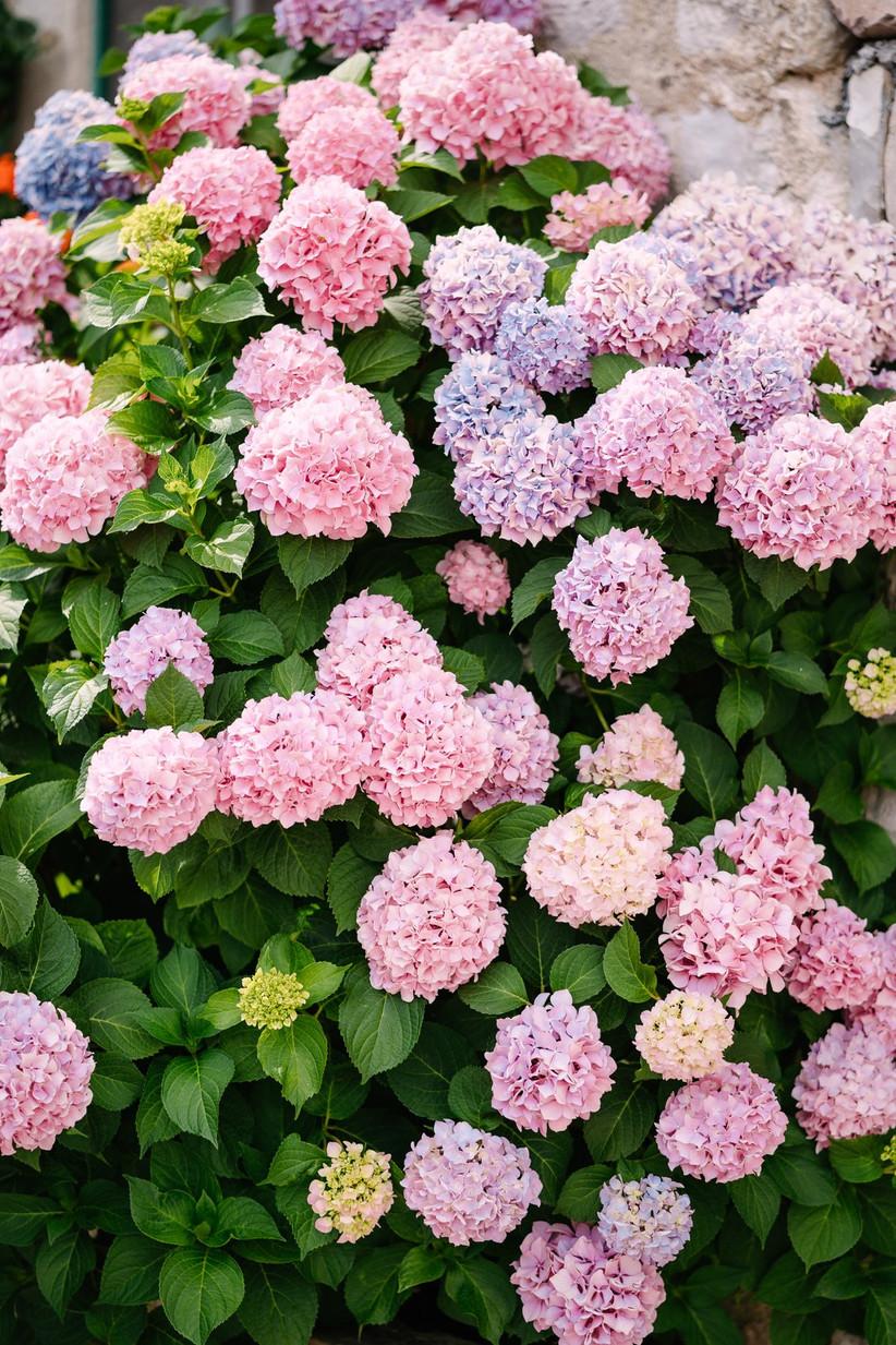 pink and purple hydrangeas on a bush