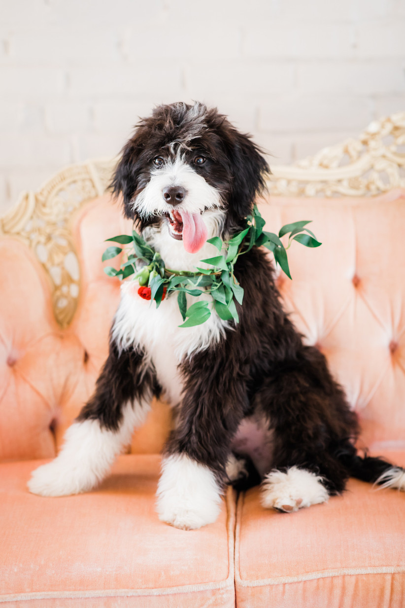 long-haired black and white dog sitting on pink velvet couch with flower collar around its neck
