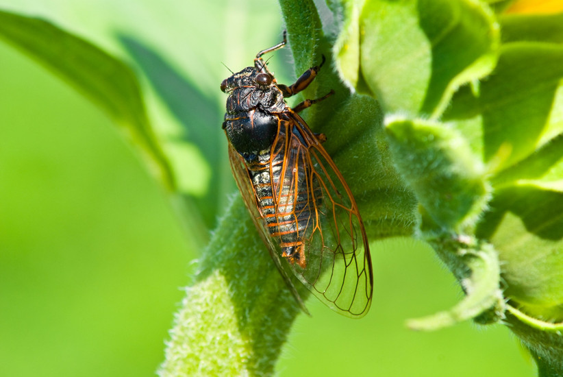 cicada on greenery
