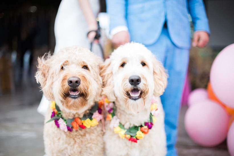 two golden doodles wearing matching flower collars in colorful pink, yellow and orange flowers