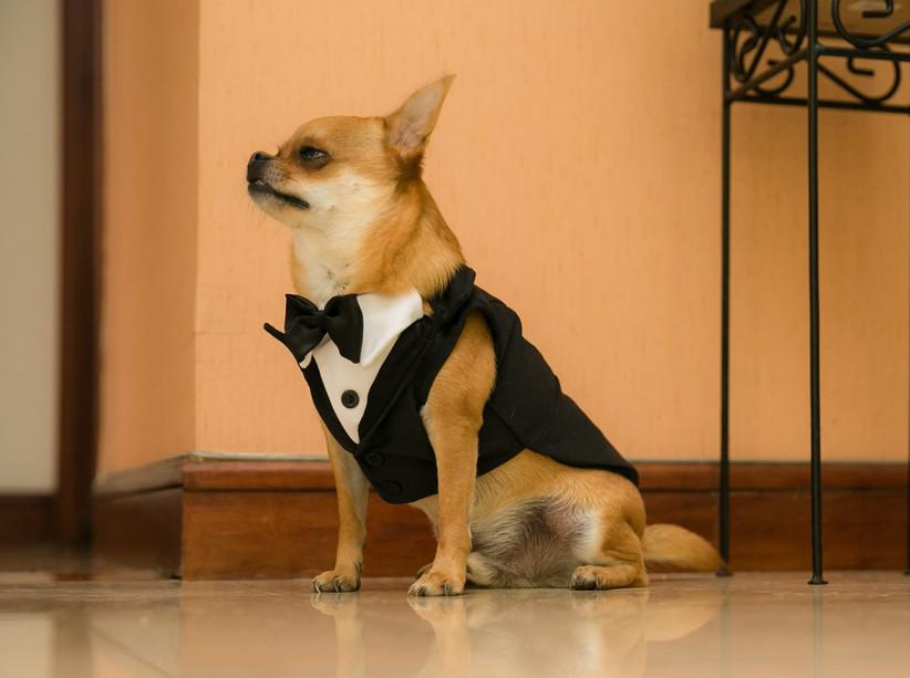 little dog in tuxedo