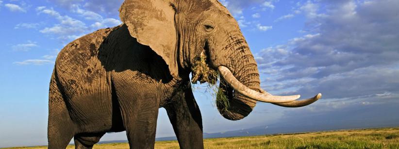 world wildlife fund african elephant adoption kit for 14th year wedding anniversary gift