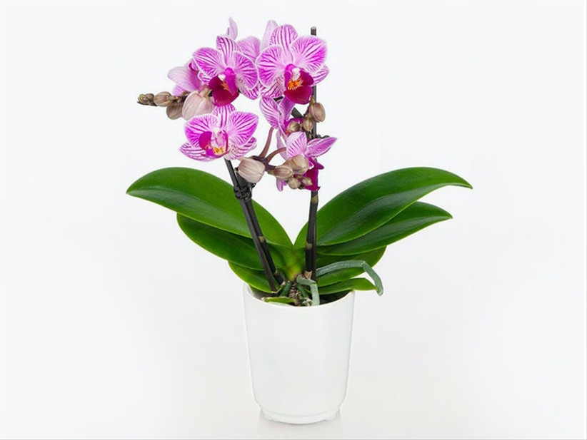 bloomsybox phalaenopsis orchid for 14th year wedding anniversary gift