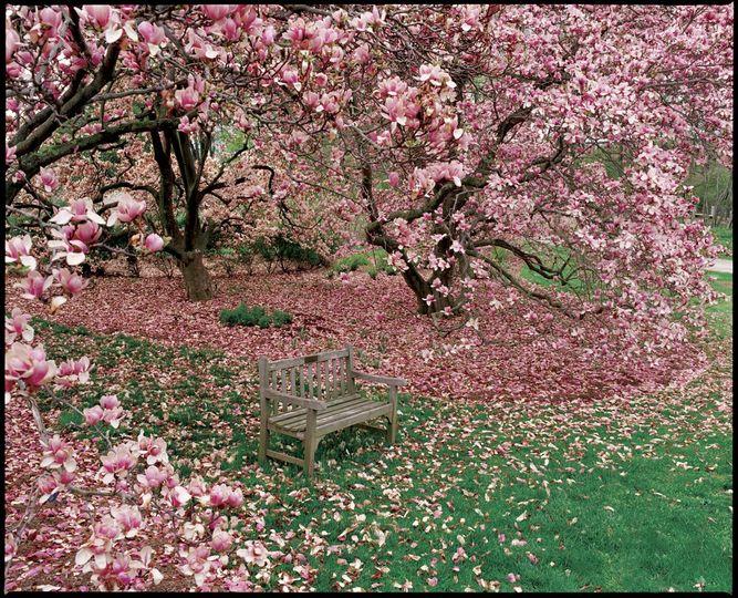 Magnolias. Photo provided by Rob Cardillo.
