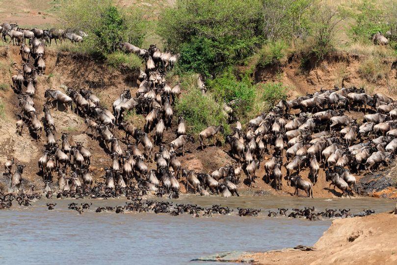 bigstock migratory blue wildebeest con 70557544