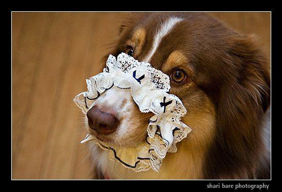 Dog in wedding, holding garter