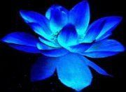 Blue Lotus Weddings & Special Events