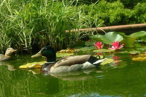 ducks for a swim