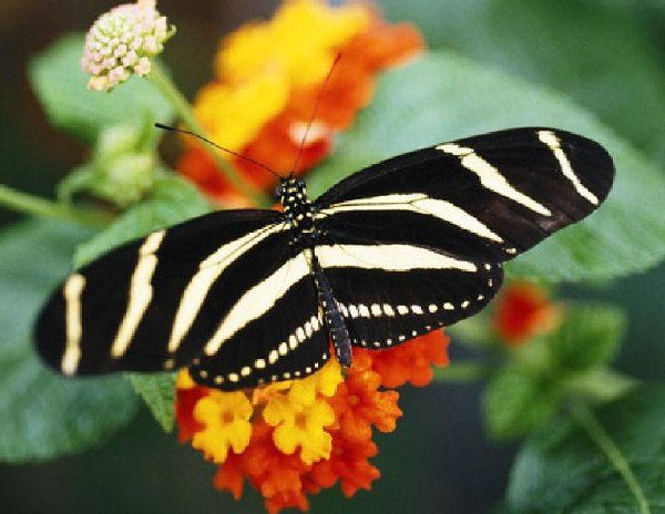 The Zebra Longwing.  The state butterfly of Florida and our Logo!
