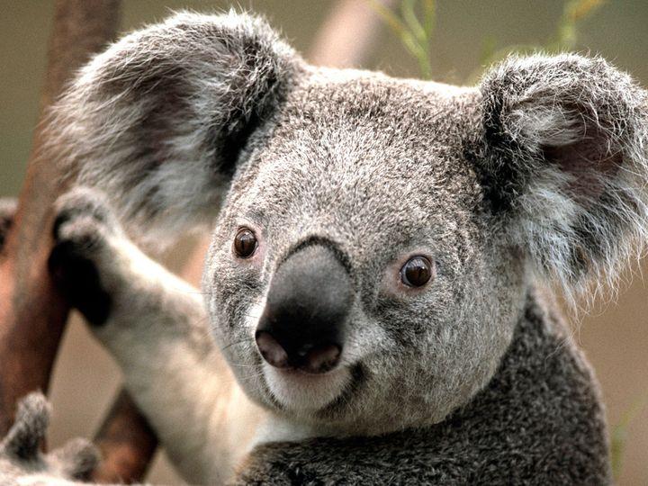 Tmx 1403044538077 Koala Duncan wedding travel