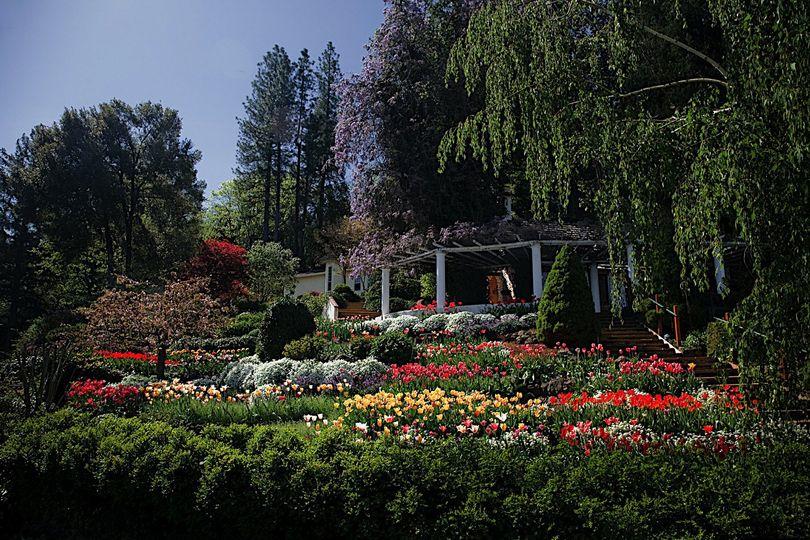 tulips at springtime