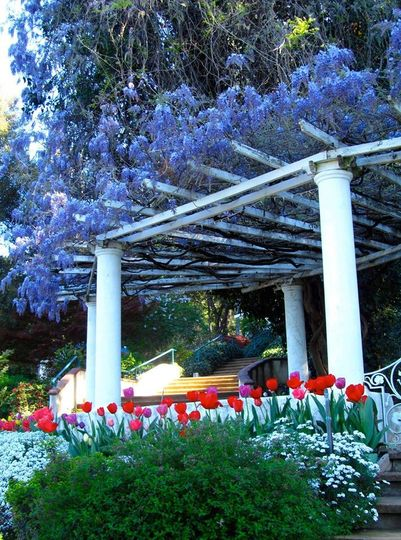 tulips and wisteria
