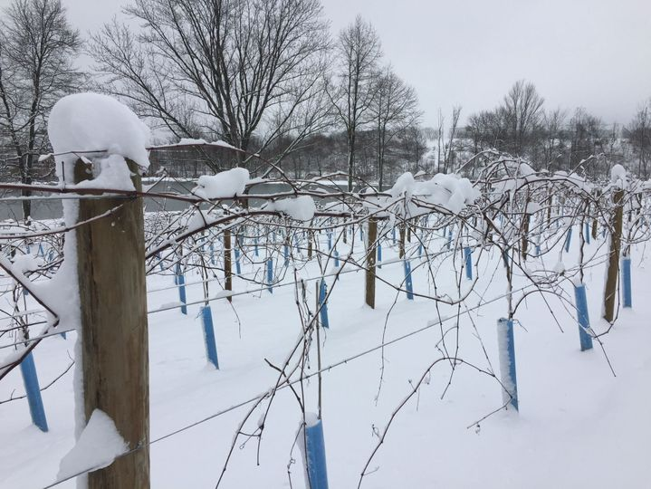 Snow in the vineyard