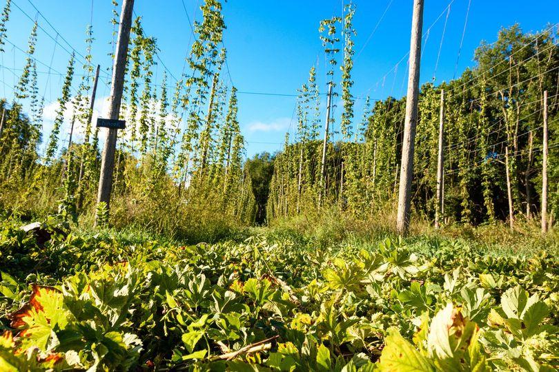 20160902 groovyhopsterfarm harvest2016 web