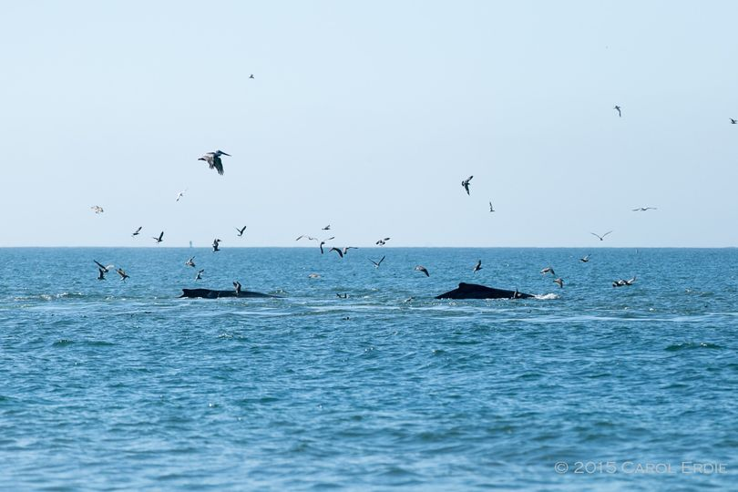 Two whales traveling by the Douglas Beach House