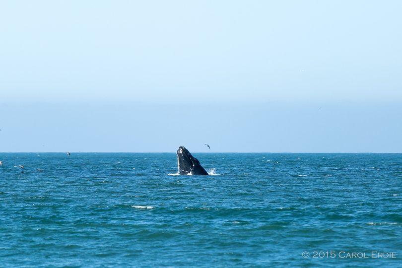 Whale breaching at the Douglas Beach House