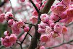 Plum Blossom Music image