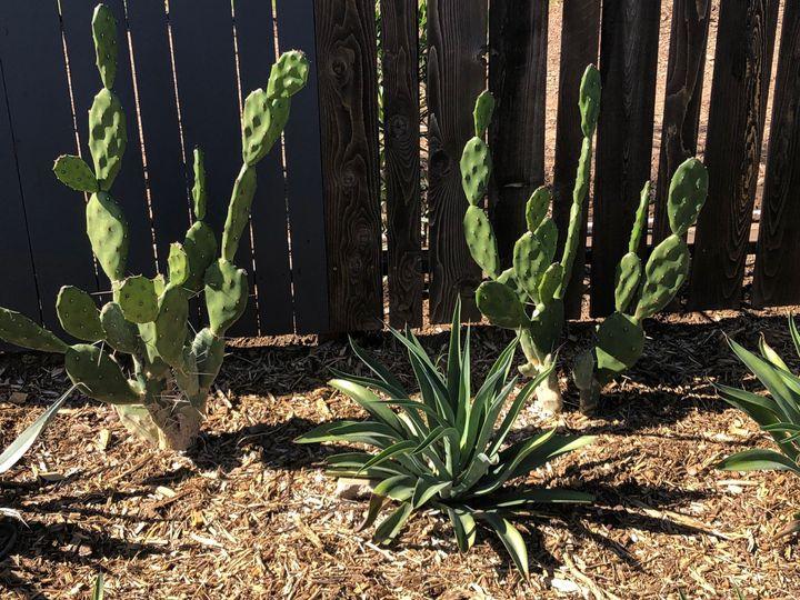 Urban Yard cacti