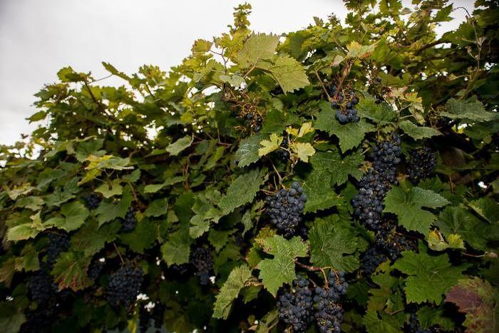 Estate grapes