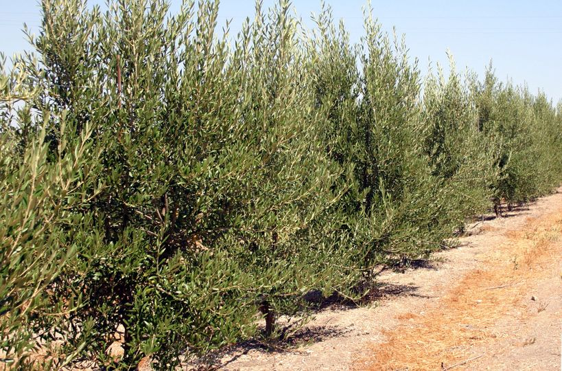 Olive trees, green year round