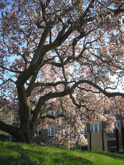 If you time it right, this 150 year old magnolia tree blooms in late April providing a spectacular...