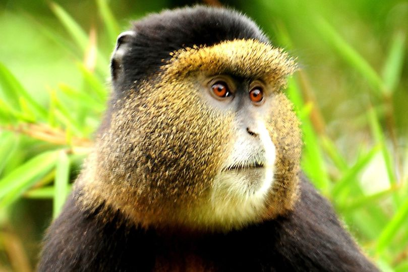 Golden monkeys can be trekked