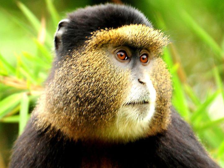 Tmx Rwanda Golden Monkey Tracking 51 1040541 Virginia Beach, VA wedding travel