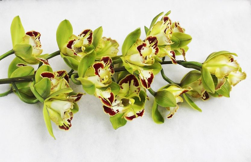 Harlequin Orchid