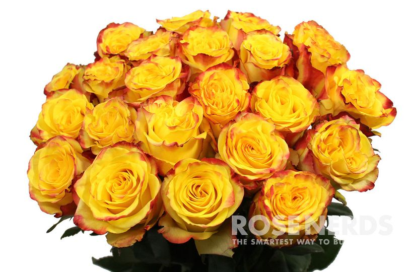 Wholesale yellow and red bi-color roses