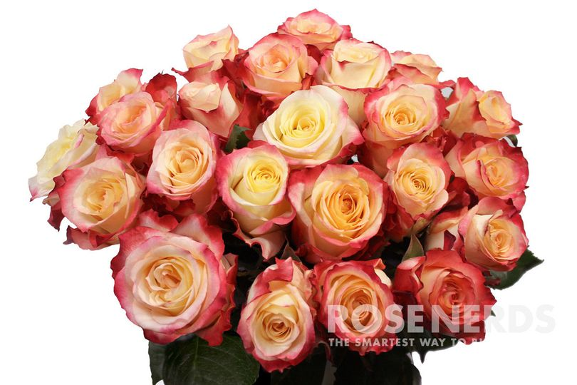 Wholesale cream and red bi-color roses