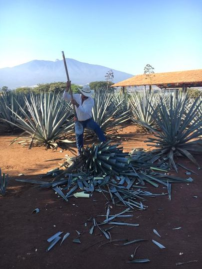 Making tequila