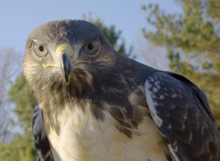 Our hawk Abe