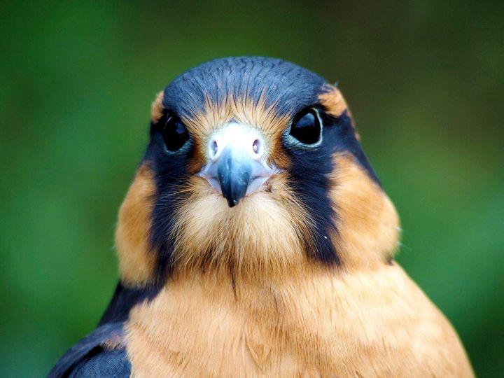 Our falcon Houdini