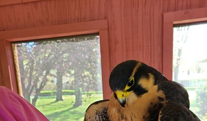 Wing Blade Falconry Events