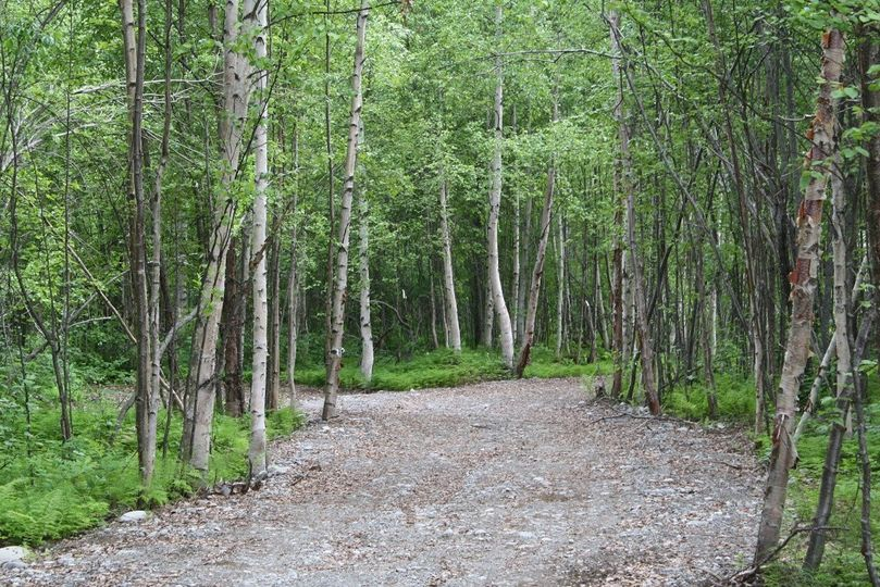 Birch tree forest trail