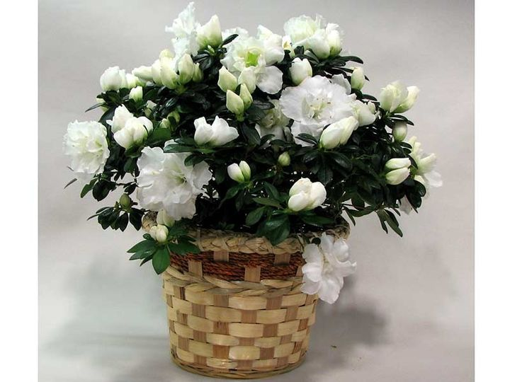 Each gift basket contains a beautiful Azalea plant in your choice of color