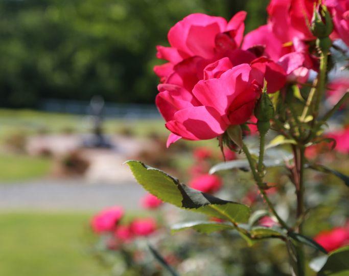 800x800 1466986211799 Camellia Roses