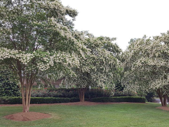 Tmx 1469652529085 Camellia White Crape Myrtles Monroe, NC wedding venue