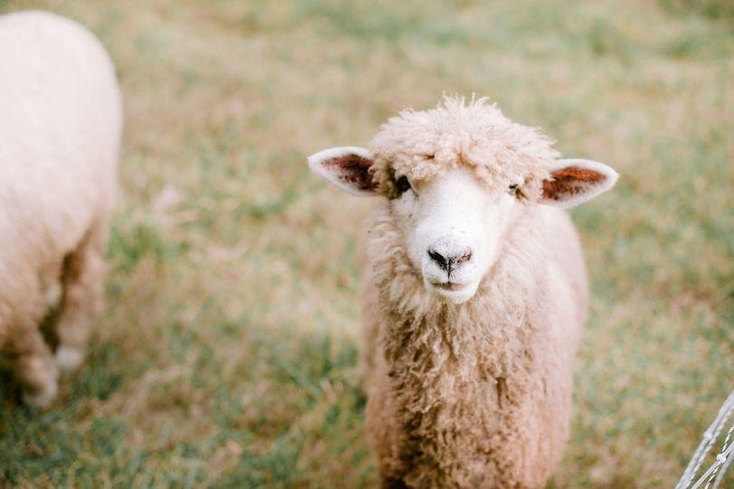 Morgan Farm Sheep