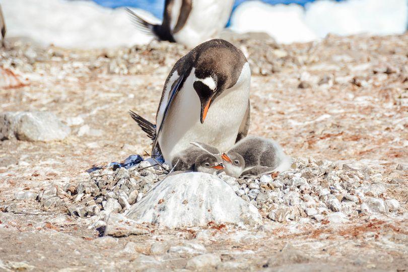 antarctica penguin nest 51 1967981 158773211518653