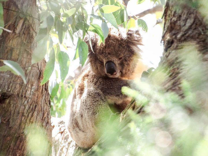 Tmx Australia Great Ocean Road Koala Tree 51 1967981 158773212270447 Chicago, IL wedding travel