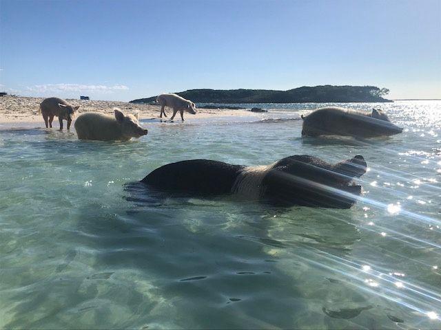 Swim with the pigs