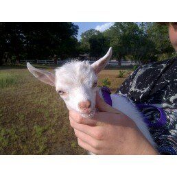 Feta our little dwarf goat!