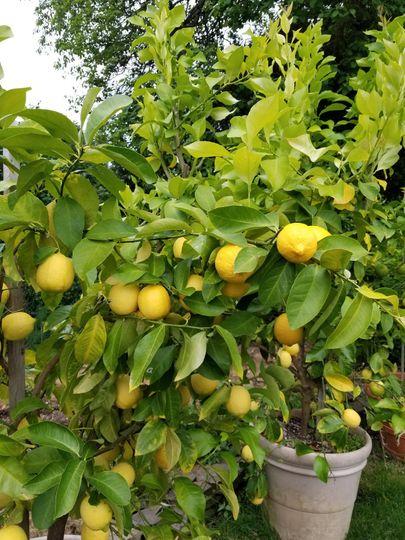 Lemons for Limoncello!
