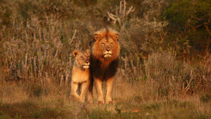 kwandwe lion pair