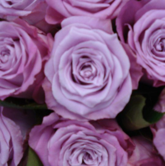 High quality lavender Roses sourced from Columbia