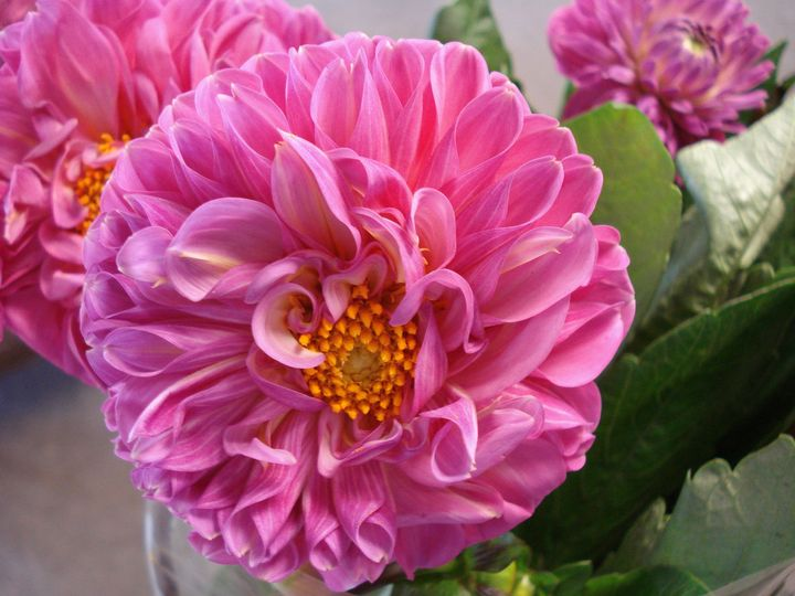 gorgeous Dahlias sourced from Canada