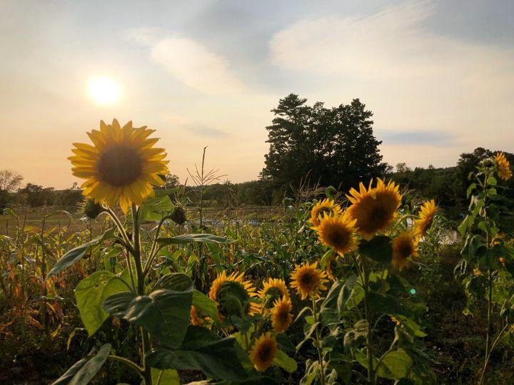 Sunflowers on the Farm