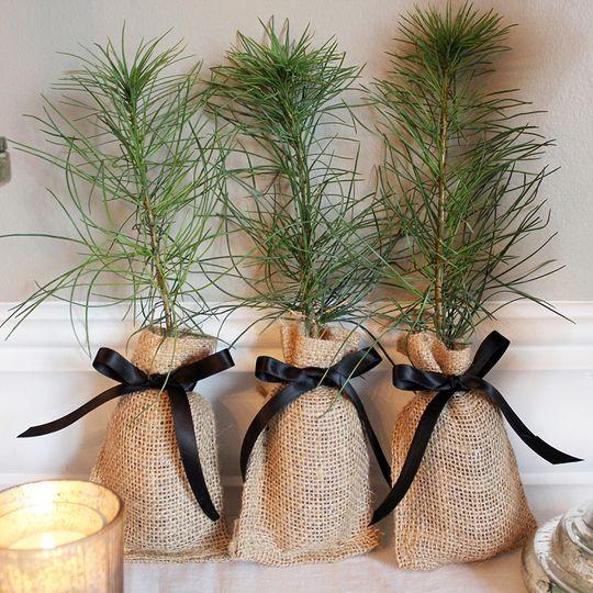 White Pine Seedling wedding favors with black ribbon.