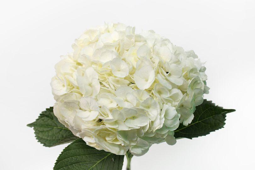White hydrageas
